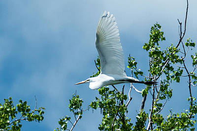 Photograph - Great Egret In Flight by Edward Peterson