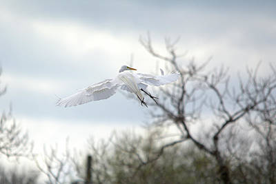 Photograph - Great Egret In Flight Looking Toward Right Wing by Roy Williams