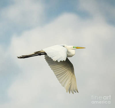 Photograph - Great Egret In Flight by Robert Frederick