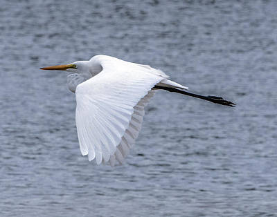 Photograph - Great Egret In Flight by William Bitman