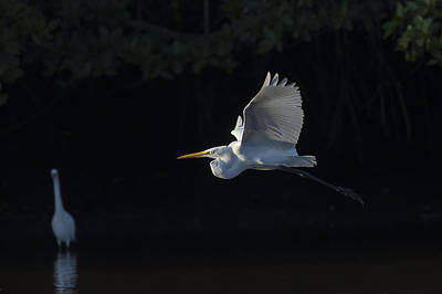 Great Egret In Morning Flight Art Print