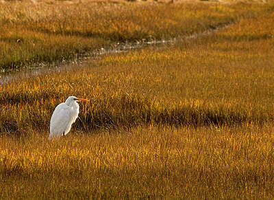 Photograph - Great Egret In Morning Light by Kristia Adams