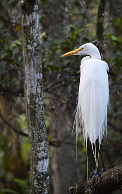Photograph - Great Egret In The Great Cypress Swamp by rd Erickson