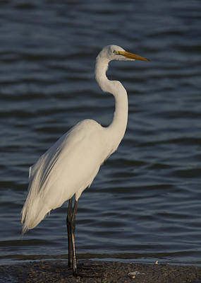 Great Egret In The Last Light Of The Day Art Print