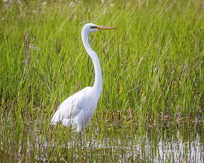 Photograph - Great Egret In The Spring  by Ricky L Jones