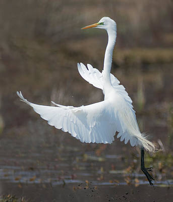 Photograph - Great Egret by Jim Zablotny