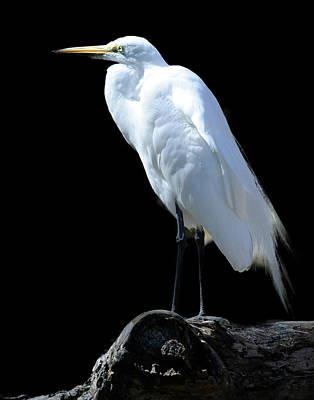Great Egret Art Print by Keith Lovejoy