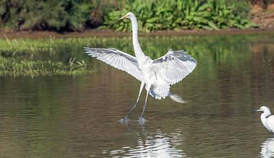 Photograph - Great Egret Landing 9385-022218-1cr by Tam Ryan