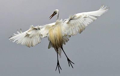 Great Egret Landing Art Print by Lindy Pollard