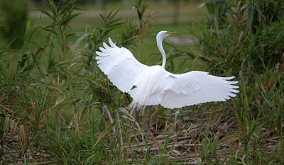 Photograph - Great Egret Landing On The Ground by Roy Williams