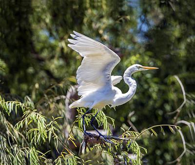 Photograph - Great Egret Landing On Tree by William Bitman
