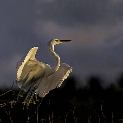 Egret Photograph - Great Egret Liftoff by Rob Travis