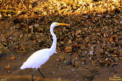 Great Egret Print by Lisa Wooten