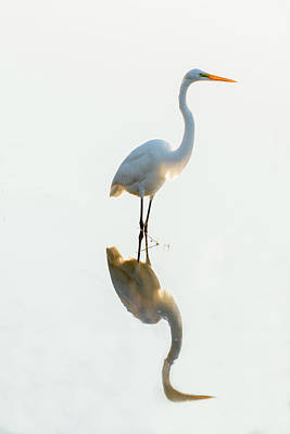Photograph - Snowy Egret Looking For Food by Dan Friend
