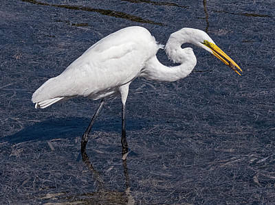 Photograph - Great Egret Low Tide Snack by Bob Slitzan