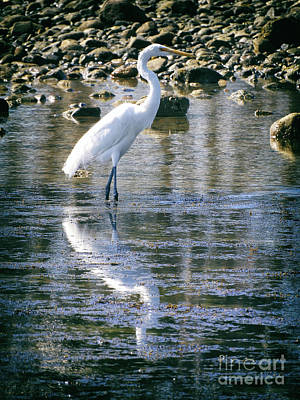 Photograph - Great Egret by Mariola Bitner