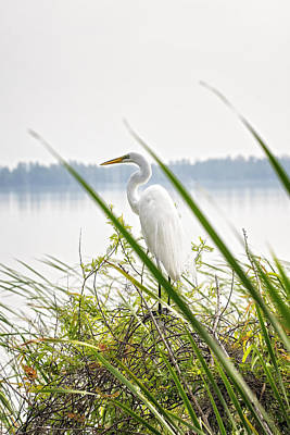 Photograph - Great Egret  by Michael White