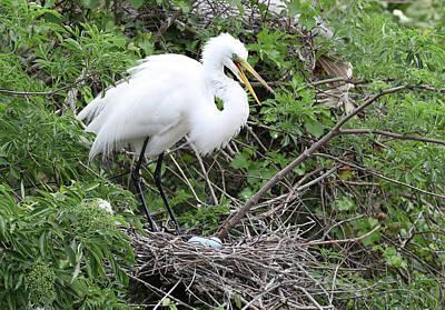 Photograph - Great Egret Nest by Jack Nevitt