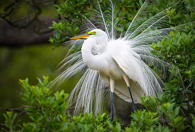 Birds Royalty-Free and Rights-Managed Images - Great Egret Nesting St. Augustine Florida Coastal Bird Nature by Dave Allen