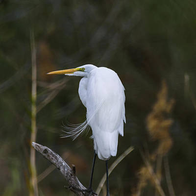 Photograph - Great Egret On A Windy Day by Debra Martz