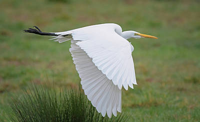 Great Egret Photograph - Great Egret On Green by Loree Johnson