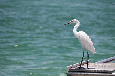Photograph - Great Egret On Pier With Turquoise Water by Carol Groenen