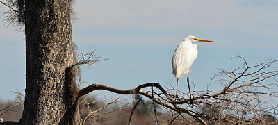 Photograph - Great Egret On The Lookout by Carla Parris