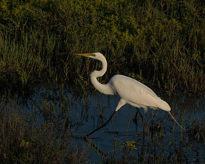 Photograph - Great Egret On The Move by Ernie Echols