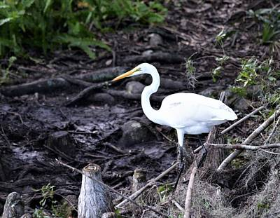 Photograph - Great Egret On The Rainbow River by Warren Thompson