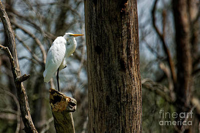 Photograph - Great Egret by Paul Mashburn