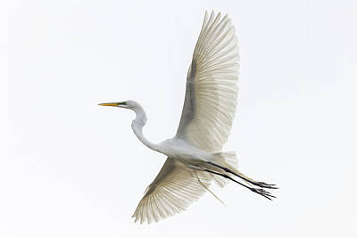 Photograph - Great Egret by Penny Meyers