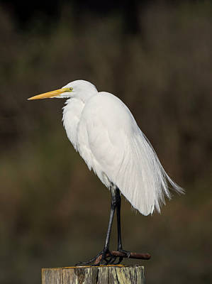 Photograph - Great Egret Perched by Loree Johnson