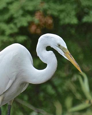 Photograph - Great Egret Portrait by Carol Bradley