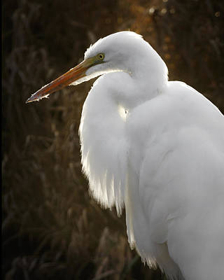 Photograph - Great Egret Portrait by Wes and Dotty Weber