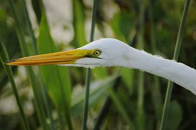 Photograph - Great Egret Portrait In Marsh by Bradford Martin