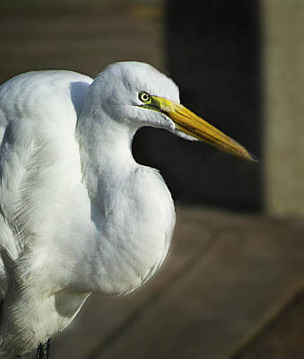 Photograph - Great Egret Portrait by Morgan Wright
