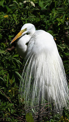 Photograph - Great Egret Portrait Two by Steven Sparks