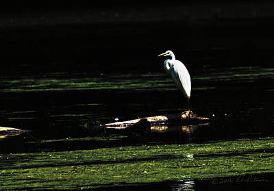 Photograph - Great Egret Posing by Edward Peterson