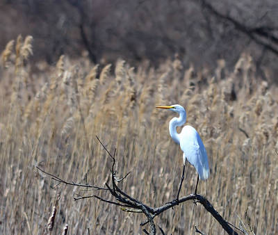 Photograph - Great Egret Posing by Kathy Eickenberg