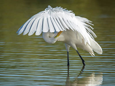 Great Egret Preening 8821-102317-2 Art Print