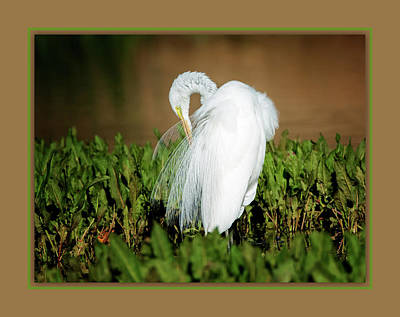 Photograph - Great Egret Preening - Digital Matte by Tam Ryan