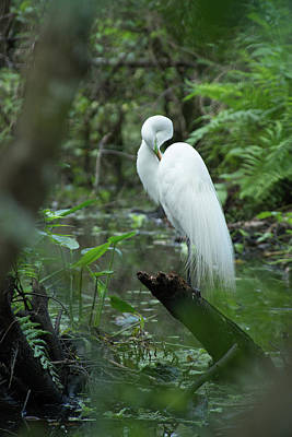 Photograph - Great Egret Preening by Frank Madia