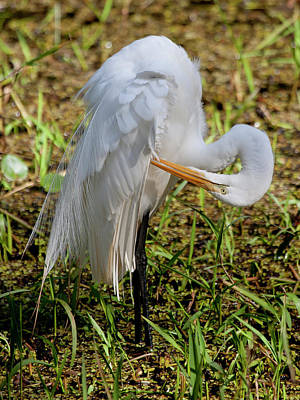 Photograph - Great Egret Preening by Sandy Swanson