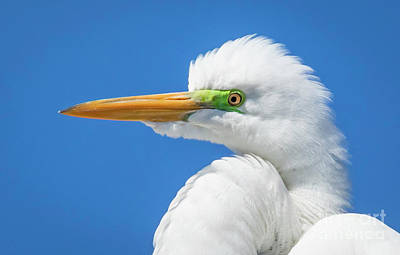 Photograph - Great Egret Profile by John Roberts
