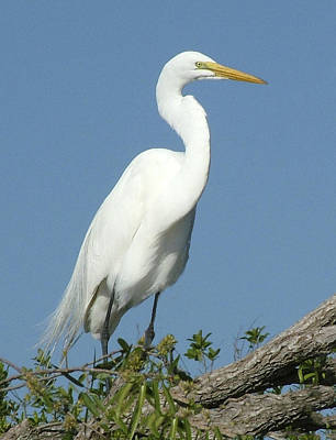 Photograph - Great Egret Profile by William Bitman
