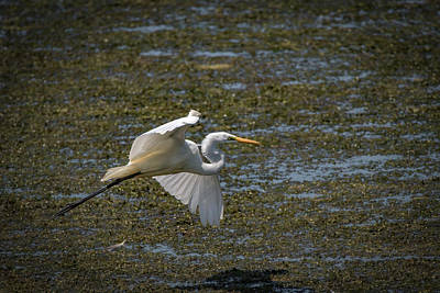 Photograph - Great Egret by Ray Congrove