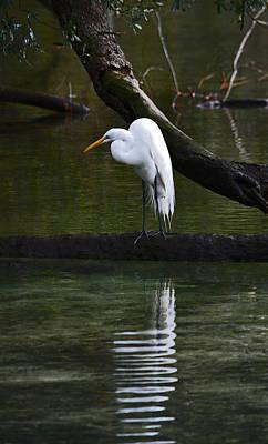 Photograph - Great Egret Rippled Reflection by Judy Wanamaker
