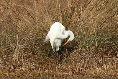 Photograph - Great Egret by Robert Papps