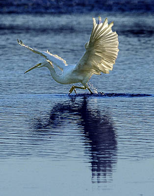 Photograph - Great Egret Running Through A Marsh by William Bitman