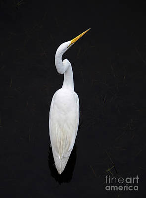 Photograph - Great Egret, Sawgrass Lake, St. Petersburg, Florida  -71730 by John Bald